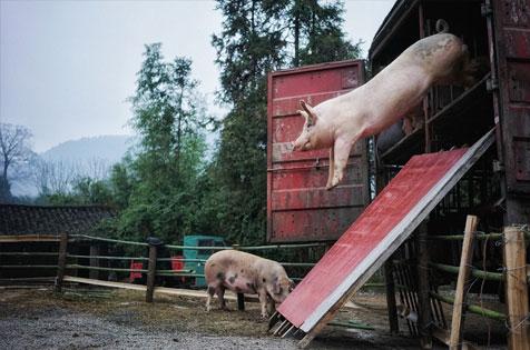 发生了什么!全村人都向猪鞠躬……